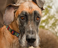 Fawn colored great dane soapy snout bath Stock Images