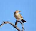 Fawn coloured lark mirafra africanoides south africa Royalty Free Stock Image