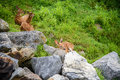 3 Fawn Deer resting behind stones Royalty Free Stock Photo