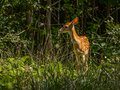 Fawn in the Forest Royalty Free Stock Photo