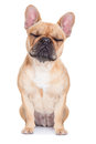 Fawn french bulldog Royalty Free Stock Photo