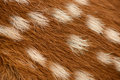 Fawn fur closeup of a whitetailed s Royalty Free Stock Image