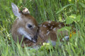 Fawn hiding in grass Royalty Free Stock Photo