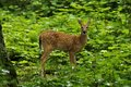 Fawn looking at photographer while eating and watching take pictures near copper falls wisconsin note this is not a zoo or other Royalty Free Stock Image