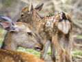 Fawn and mom deer in a forest focus on baby eye detailed view of Royalty Free Stock Photos