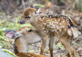 Fawn and mom deer licking, focus on baby eye Royalty Free Stock Photo