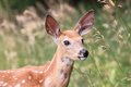Fawn In Nature
