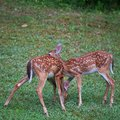 Fawn pair Image stock