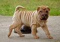Fawn puppy sharpei Royalty Free Stock Photo
