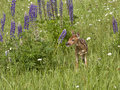 Fawn in purple wildflowers white tailed deer a field of Royalty Free Stock Photo