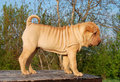 Fawn sharpei puppy on the table Royalty Free Stock Image