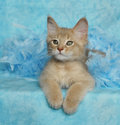 Fawn somali kitten Royalty Free Stock Photo