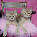 Fawn somali kittens Royalty Free Stock Photo