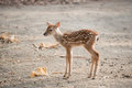 Fawn is standing in cage at zoo Royalty Free Stock Photo