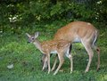 Fawn on watch while a whitetail doe grazes its is watching something Royalty Free Stock Image