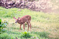 Fawn Whitetail Deer eating from field Royalty Free Stock Photo