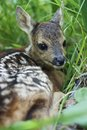 Fawn in the wild background portrait Royalty Free Stock Photo