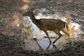 Fawn at the zoo in palic serbia Royalty Free Stock Photography
