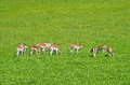 Fawns and female deers on green grass field photographed from distance Royalty Free Stock Photo