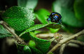 Fear of beetle classified in order coleoptera Royalty Free Stock Image