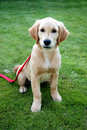 Fearful golden retriever puppy sitting in the garden Stock Photos