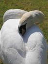Fearful swan hides the head between the feathers white Stock Photography