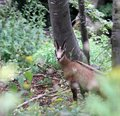 Fearful young mountain chamois in the forest wood Royalty Free Stock Photography