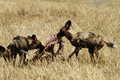 Feasting african wild dogs stripping an impala carcass of all the meat Royalty Free Stock Photo