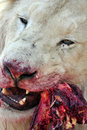 Feasting White Lion. Stock Photography