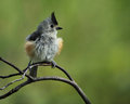 Feather Ball (Black-crested Titmouse) Royalty Free Stock Photo