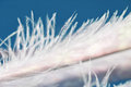 Feather closeup on a blue background. Royalty Free Stock Photo