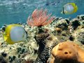 Feather duster worm with butterfly fish and coral Stock Images