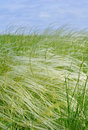 Feather grass swaying on a strong wind in the field Royalty Free Stock Image