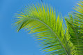 Feather looking fluffy palm leafs against blue sky Royalty Free Stock Photo