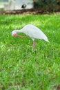 Feather pecking of a ibis bird white taken in florida Stock Photos