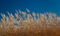 Feather Reed Grass in Autumn Royalty Free Stock Photo