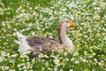 Feathered duck in a meadow Royalty Free Stock Photo