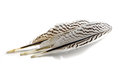 Feathers from a silver pheasant with black and white stripes, is Royalty Free Stock Photo