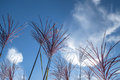 Feathery blossoms of ornamental grass miscanthus sinensis close up the chinese reed silver feather in front blue and white Stock Images
