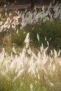 Feathery grass background outdoor nature Stock Photo