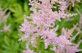 Feathery pink astilbe flowers green garden in july sweden Stock Image