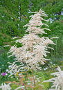 Feathery white astilbe flowers green garden in july sweden Royalty Free Stock Images