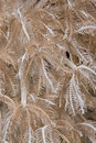 Feathery xenid (Anthelia glauca), detail. Royalty Free Stock Photo