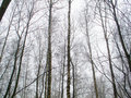 February grove in fog and cloudy sky Royalty Free Stock Photography