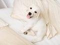 Feche acima do cachorrinho feliz de labrador que senta se no sofá Fotos de Stock