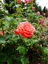 Fee rose rosaceae family rosa genre iasi romania floribunda kordes Royalty Free Stock Photos