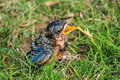 Feed me newborn robin with beak wide open looking for food Royalty Free Stock Photo