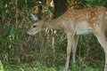 Feedig del fawn del whitetail sulle erbacce di estate Immagine Stock