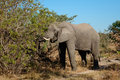 Feeding african elephant loxodonta africana on a tree sabie sand nature reserve south africa Stock Image