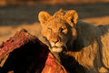 Feeding african lion young panthera leo on a carcass south africa Stock Images